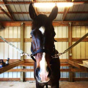Dorado the Horse