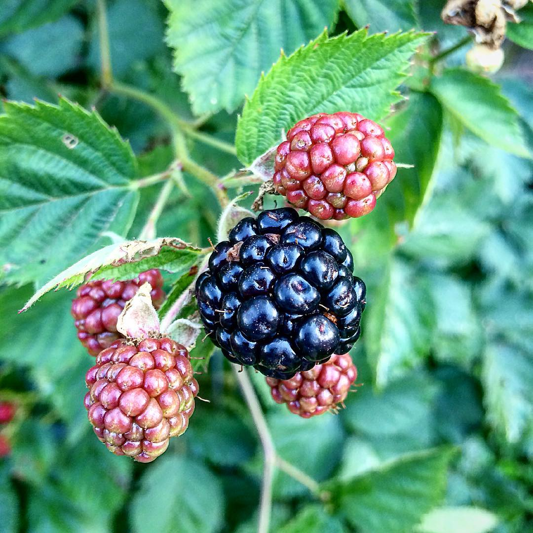 My Blackberries