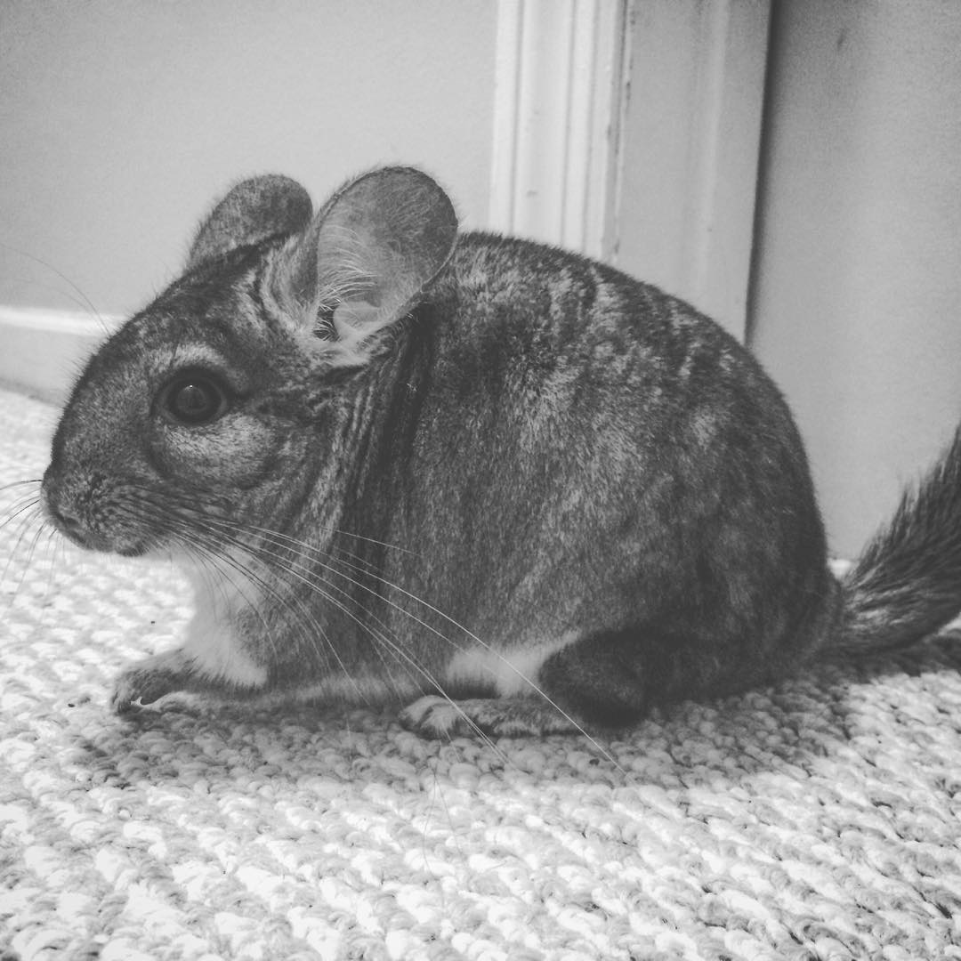 Stuart the Chinchilla